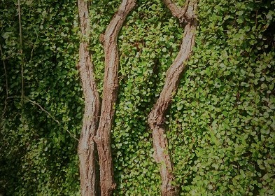 Vine of mountain vines