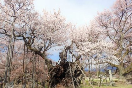 Cherry trees that have been alive